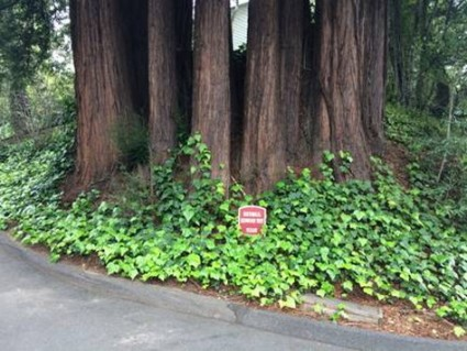 A Redwood tree that had been cut down. (The stump is in the center.) The trees now visible grew from the remaining roots of the original tree.